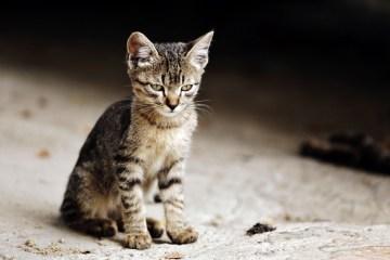 Kotek z Kolumbii