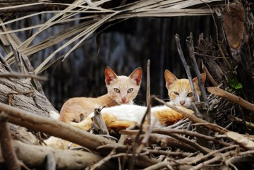 Peruwiańskie koty na drzewie