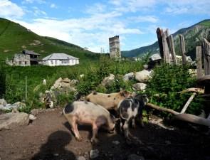 Gruzińskie świnie