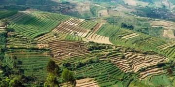 Pola ryżowe w Indonezji - foto