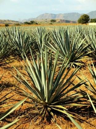 Agawa rosnąca w Meksyku