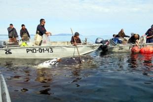Mysliwi przygotowują się do holowania wieloryba
