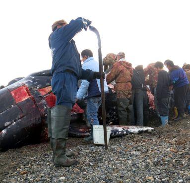 Myśliwy, polowanie na wieloryby na Czukotce