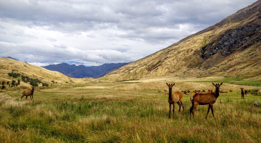 W Nowej Zelandii jelenie hoduje się na mieso