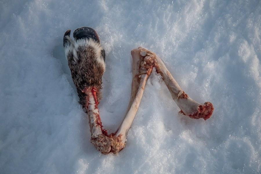 Szczątki renifera - zdjęcia z podróży przez Laponię