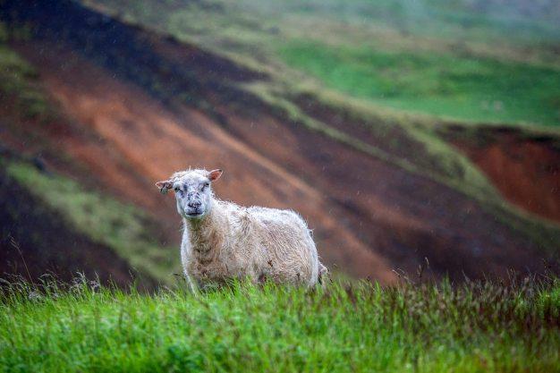 Przyroda Islandii, owca w deszczu - zdjęcia z podróży Kasi Nizinkiewicz