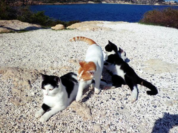 Bezpańskie koty na Cyprze