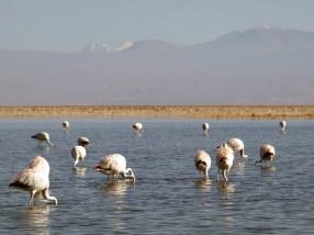 Chile, laguna Chaxa, Salar de Atacama, flamingi