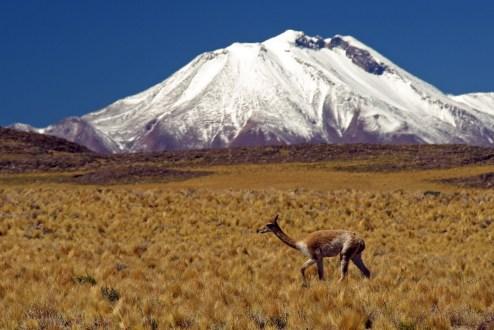 Chile, Atacama, Wikunia, zdjęcia z podróży