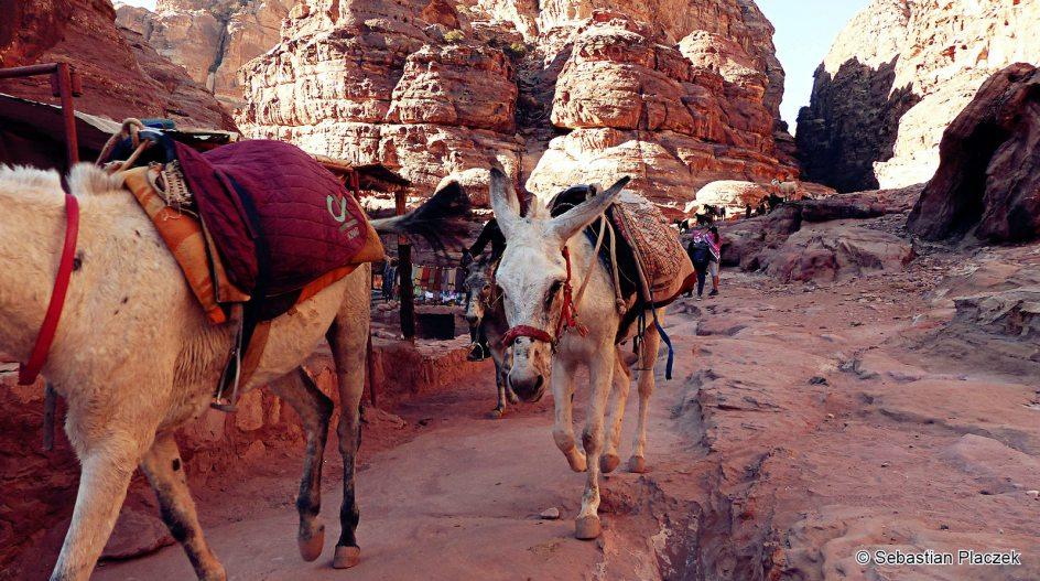 Jordania, Petra, osiołki czekające na turystów
