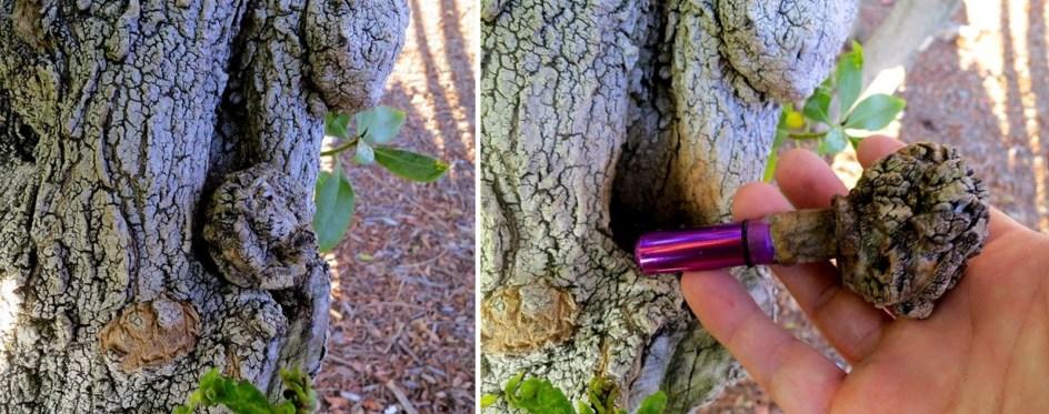 Geocaching, skrytka zamaskowana w drzewie