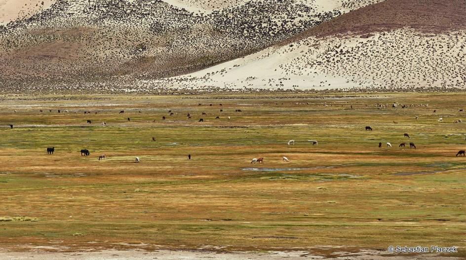 Boliwia, okolice Uyuni, lamy, zwierzęta Ameryki Południowej
