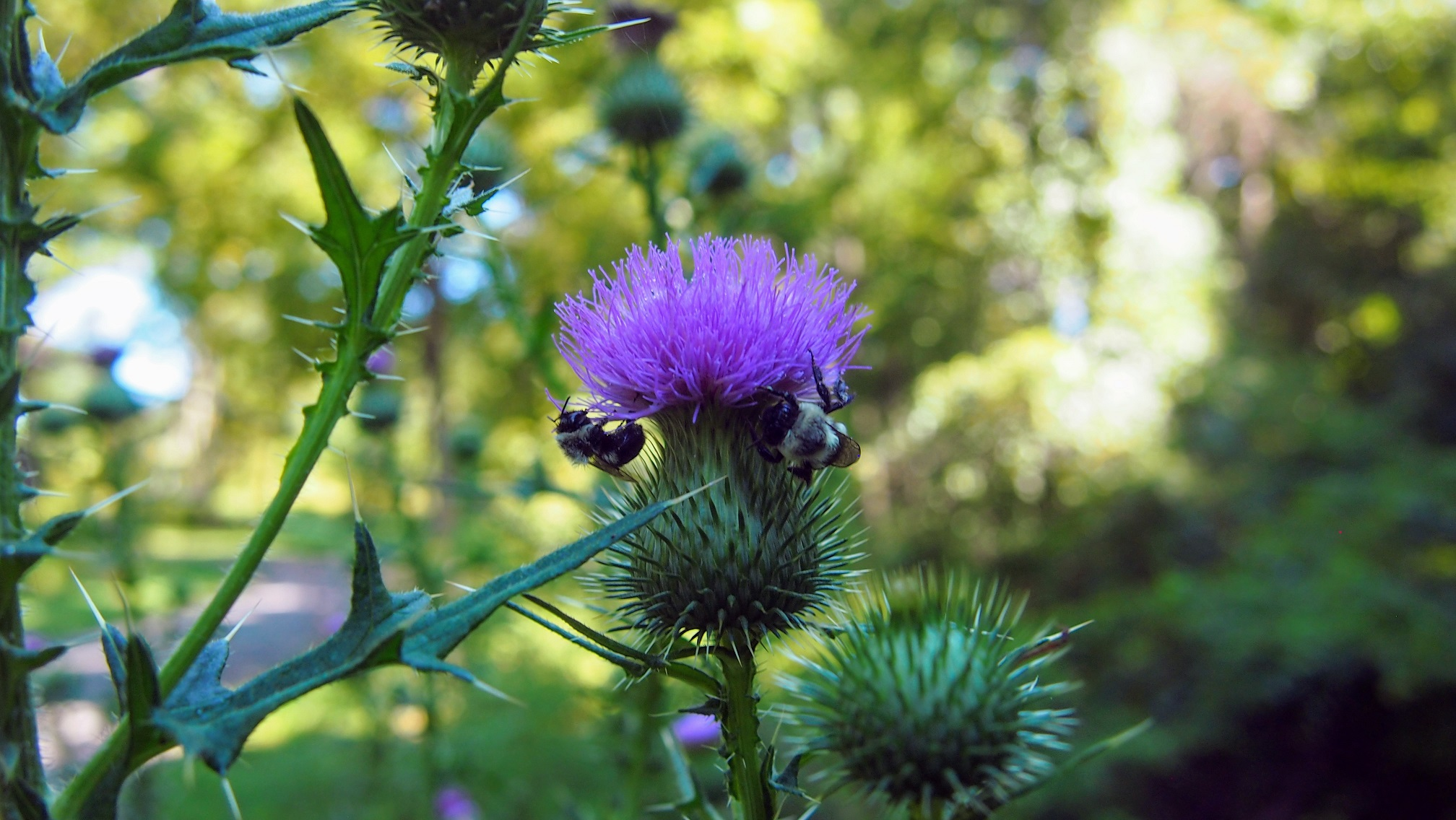 Bees sitting on a thistle flower.