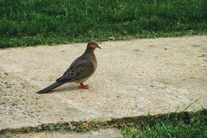 Dove standing on concrete path.