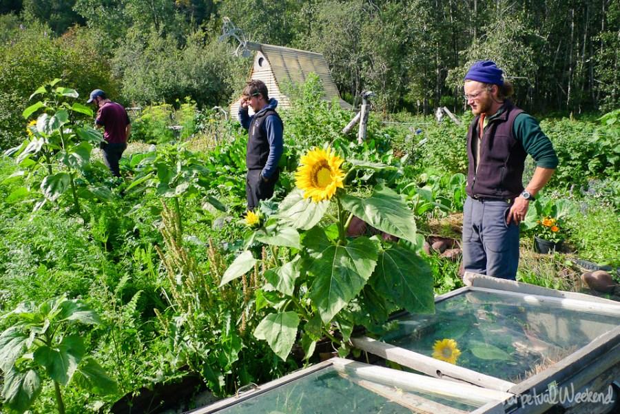 chitina alaska produce, big garden