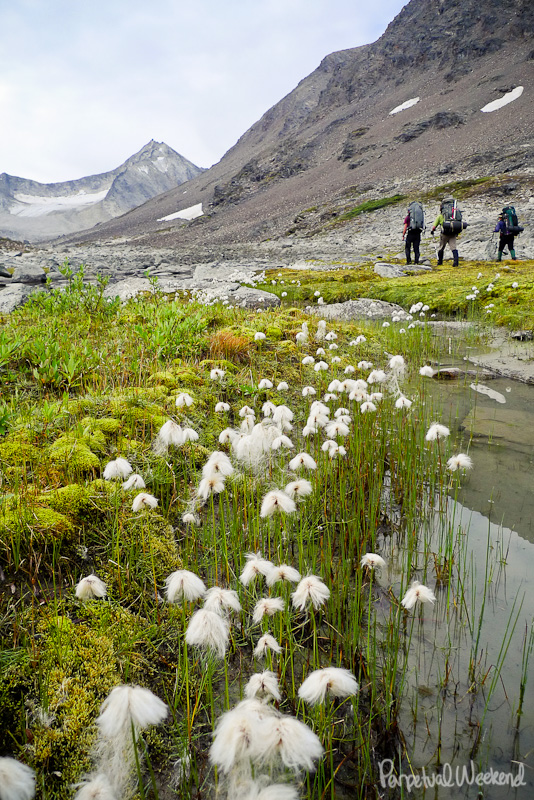 cotton grass tundra in alaska