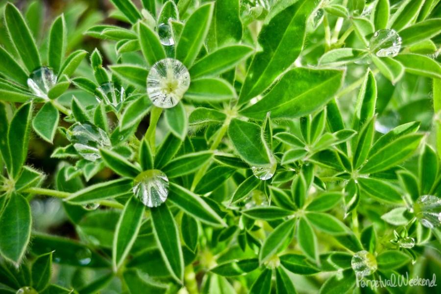 rain on lupine flowers in alaska