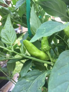 Fresno Hot Pepper