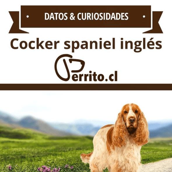 cocker spaniel inglés