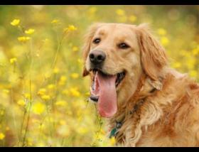 Golden con la lengua fuera en un campo de flores amarillas