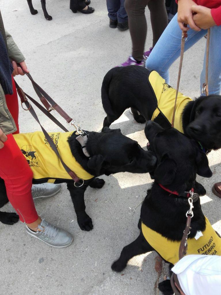 Tres futuros perros guías con sus petos amarillos jugando entre ellos.