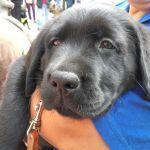 Cachorro de labrador negro en brazos de un miembro de su familia educadora.