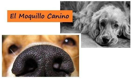 El Moquillo Canino ¡Síntomas y Tratamiento!