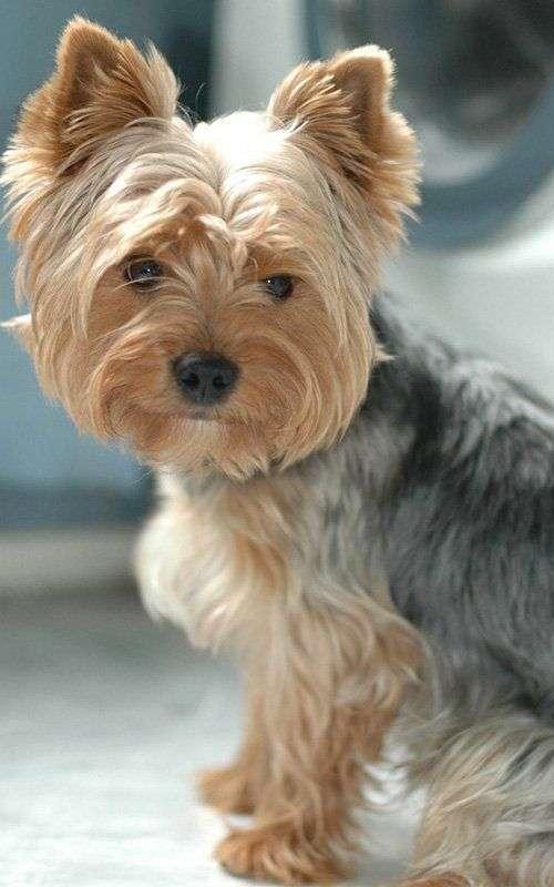 raza-perros-yorkshire-terrier