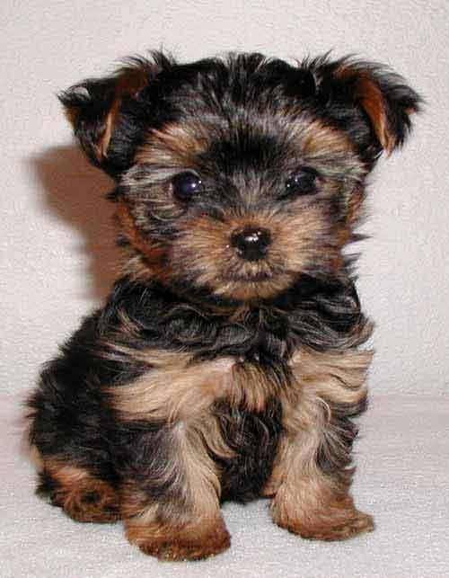 yorkshire_terrier cachorro 1