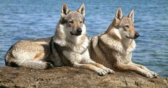 Caracter del Perro Lobo Checoslovaco