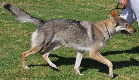 Entrenamiento del Perro Lobo Checoslovaco