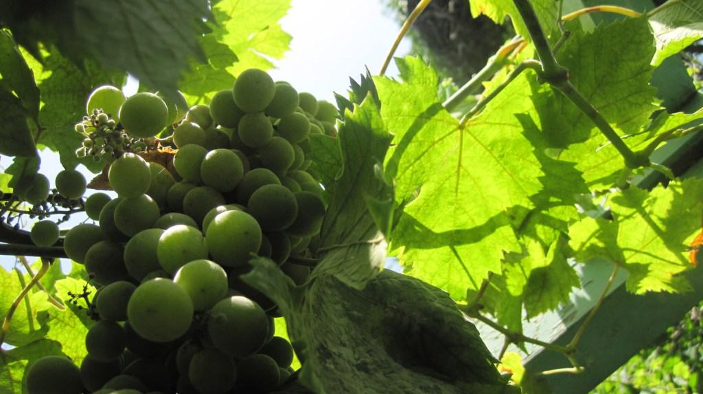 Uvas en el jardín del Museo de la Kasbah - Tánger, Marruecos