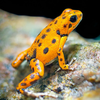 Poison Dart Frogs are no Longer Poisonous in Captivity