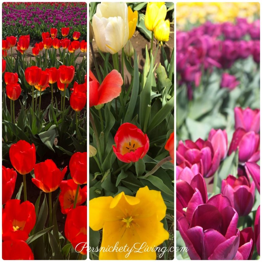 Colorful Tulips Portland Tulip Festival