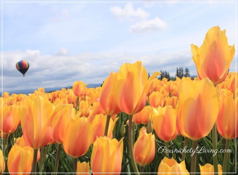 Spring has sprung! Portland Tulip Festival