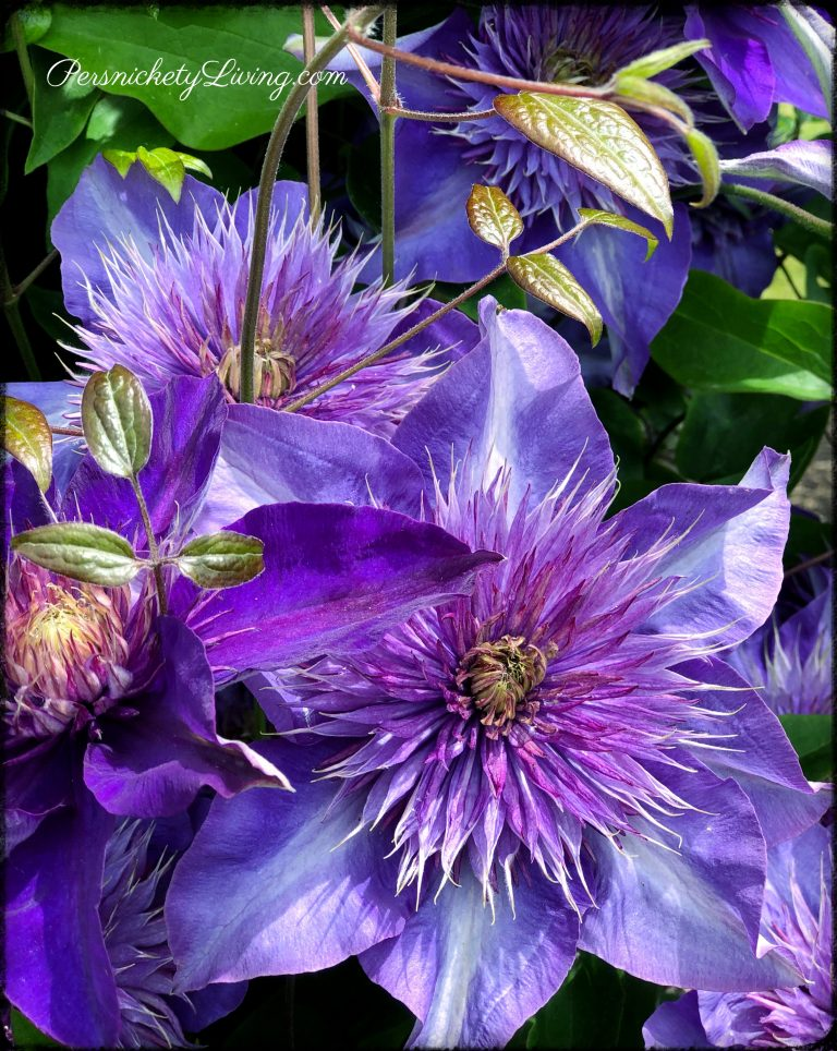 Purple-Blue Clematis