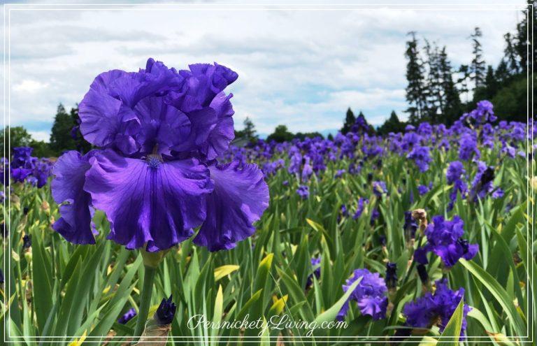 Purple Iris Field