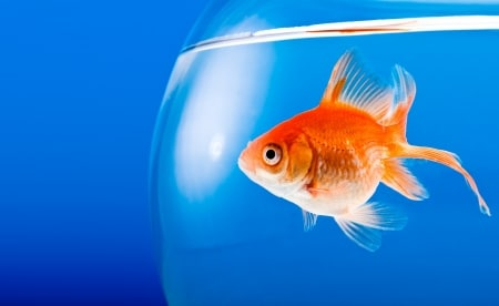 Goldfische haben 9 Sekunden Aufmerksamkeitsspanne