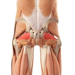 anatomía del músculo piriforme