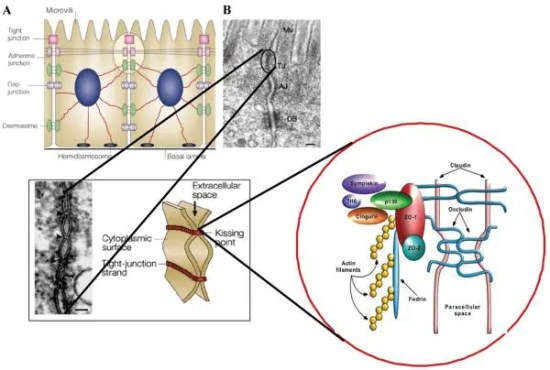 Figure 1 Macroscopic Arrangement & Microscopic Composition of Intercellular Tight Junctions Image 1