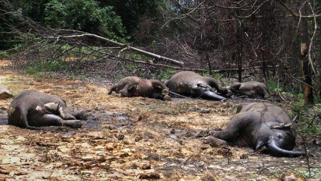Al menos 100 cadáveres de estos animales han sido localizados en el Parque Nacional Bouba Ndjida. (observadorglobal.com)