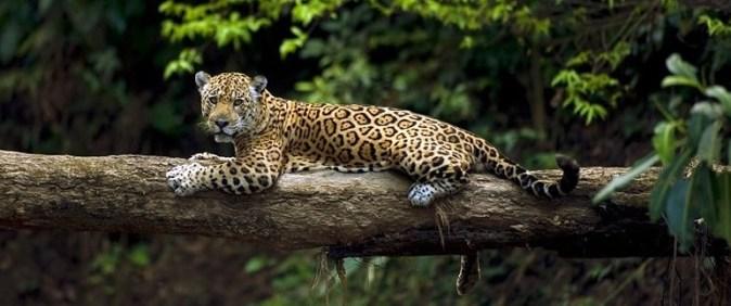 Jaguar (3)