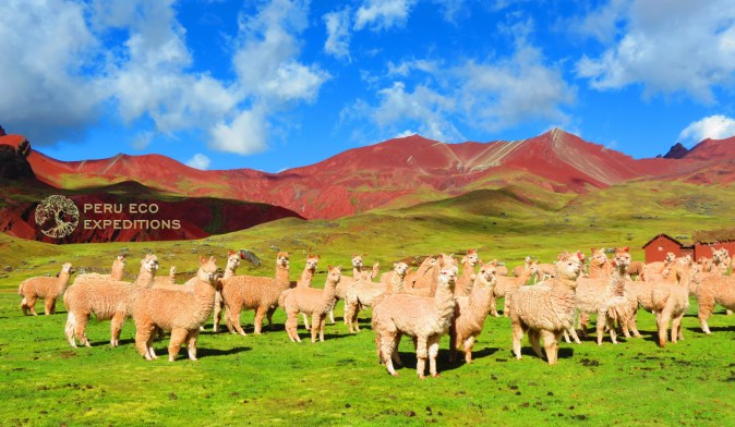 Ausangate Alpacas - Peru Eco Expeditions (2)