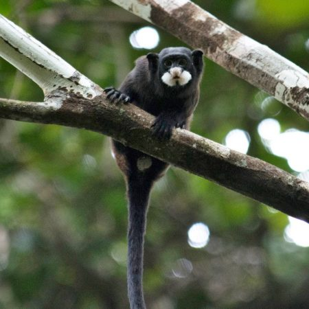 Photo of Moustached Tamarin