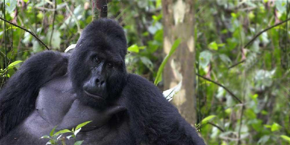 Male Adult Mountain Gorilla