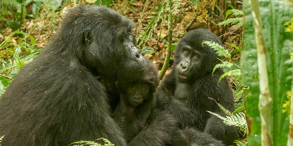 Mother mountain gorilla with two babies