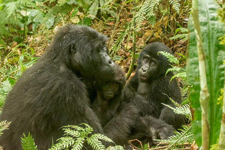 Gorilla Mother with two babies
