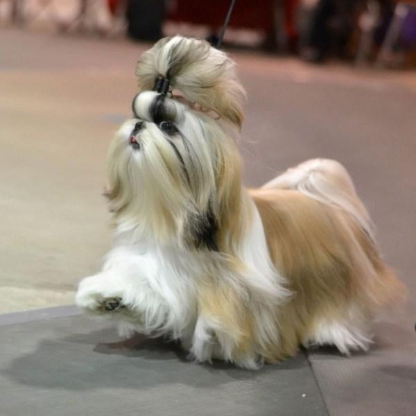 Стрижка Ши-тцу: прически, фото, под щенка, плюшевый мишка ...