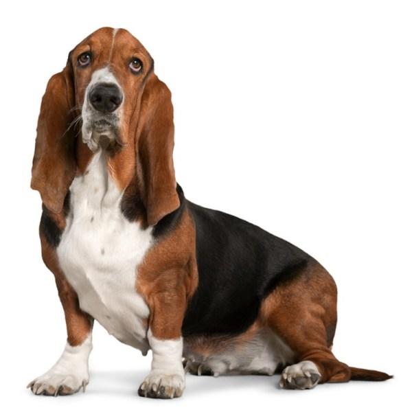 Бассет хаунд: фото, описание породы, порода собак, цена ...