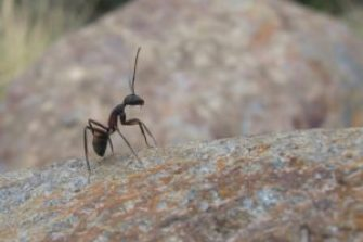 health benefits of eating ants
